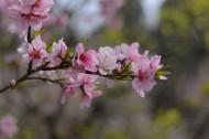 粉色的杏花图片_8张