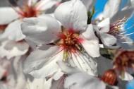 唯美盛开的杏花图片_14张