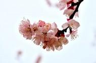 白色杏花图片_6张