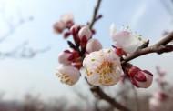 白色杏花图片_8张