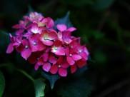 繡球花圖片_9張