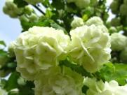 綠色繡球花圖片_14張