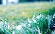 风中摇曳美丽的雪滴花图片_21张