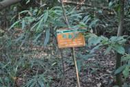 鸭脚木植物图片_2张