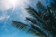 陽光下的棕櫚樹圖片_11張