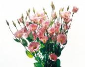 洋桔梗花朵图片_3张