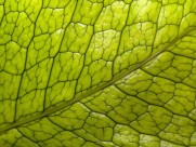綠葉葉脈圖片_20張
