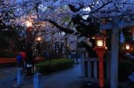 夜晚的櫻花圖片_9張