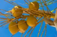 黃椰 / 椰子樹圖片_14張
