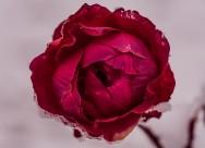 一朵艳丽的红玫瑰图片_13张