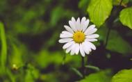 一朵雏菊图片_14张
