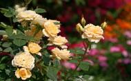 英國月季花卉圖片_20張