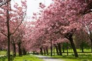 路边的樱花树图片_10张