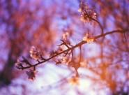 盛开的樱花图片_12张