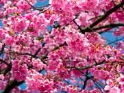 櫻花圖片_22張