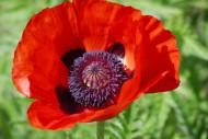 鮮紅的罌粟花圖片_15張