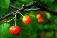 挂满枝头的樱桃图片_7张
