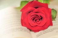 英语书上的红色玫瑰花图片_11张