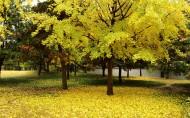 銀杏樹圖片_6張