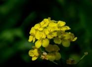 金黄色的油菜花图片_5张