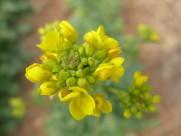 黄色油菜花图片_15张