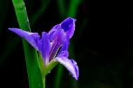 紫色鸢尾图片_14张