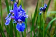 藍色鳶尾花圖片_6張