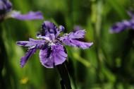 紫色鸢尾花图片_11张