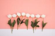白色的月季花图片_12张