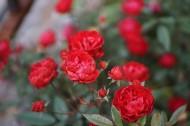 火红的月季花图片_10张