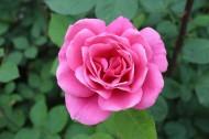 粉色的月季花图片_11张