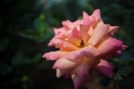 各种颜色的月季花图片_12张