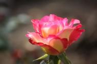 颜色丰富的月季花图片_28张