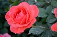 花园里的月季花图片_20张