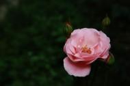 粉色月季花图片_7张