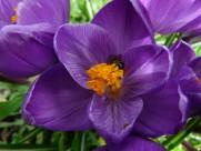 紫色的藏红花图片_15张