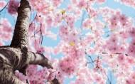 美丽绽放的樱花图片_10张