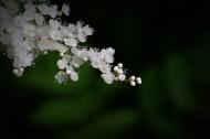 珍珠梅图片_10张
