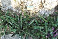 紫背万年青植物图片_5张