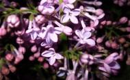 娇媚的紫丁香图片_23张