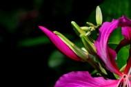 紫荆花图片_24张