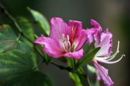 含蓄秀美的紫荊花圖片_8張