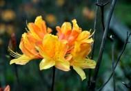 黄色紫荆花图片_9张