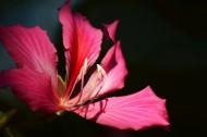 紫荆花图片   _13张