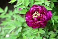 紫牡丹花图片_8张