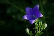 紫色的桔?;ㄍ计琠6张