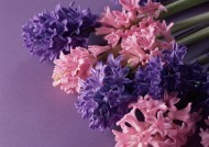 紫色花朵花瓣背景图片_7张
