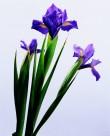紫色蝴蝶蘭圖片_4張