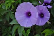 紫色牽牛花圖片_3張