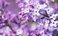 紫色植物圖片_20張